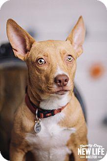 Australian Cattle Dog/Basenji Mix Dog for adoption in Portland, Oregon - Dash