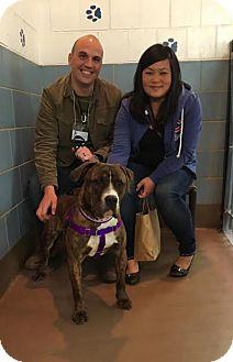 Staffordshire Bull Terrier/Boxer Mix Dog for adoption in Villa Park, Illinois - Mojo