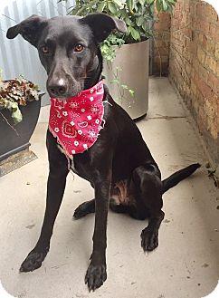 Labrador Retriever/Pointer Mix Dog for adoption in Palatine, Illinois - Stevie