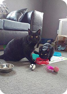 Domestic Shorthair Cat for adoption in Colmar, Pennsylvania - Mr. Mom