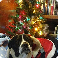 Adopt A Pet :: Puggles - Stamford, CT