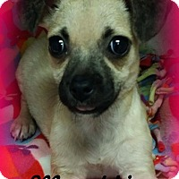 Adopt A Pet :: Munchkin - Anaheim Hills, CA