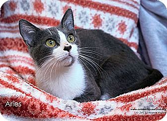 Domestic Shorthair Cat for adoption in St Louis, Missouri - Aries