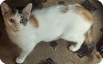 Domestic Shorthair Cat for adoption in Wauconda, Illinois - Peggy