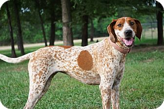Coonhound/Hound (Unknown Type) Mix Dog for adoption in Westport, Connecticut - *Candace - PENDING