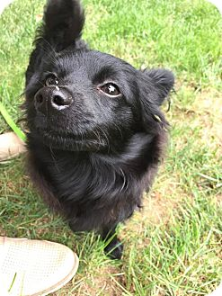 Pomeranian Puppy for adoption in Long Beach, New York - Ebony