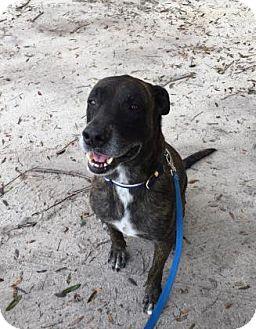 Great Dane Mix Dog for adoption in Gainesville, Florida - Dexter