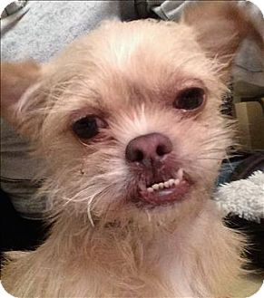 Brussels Griffon/Terrier (Unknown Type, Small) Mix Dog for adoption in Encino, California - Chata