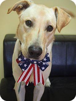 Labrador Retriever Mix Dog for adoption in Philadelphia, Pennsylvania - Cody