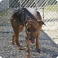 Shepherd (Unknown Type)/Hound (Unknown Type) Mix Dog for adoption in Vienna, Ohio - Brutus - Prison CCP
