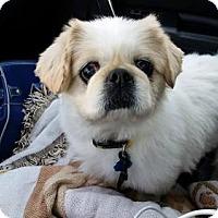 Pekingese Dog for adoption in Inver Grove, Minnesota - Joey