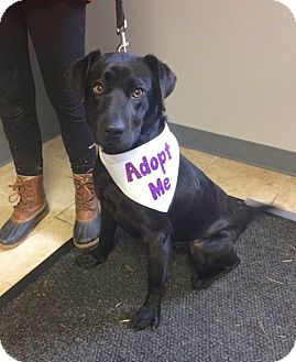 Labrador Retriever/Retriever (Unknown Type) Mix Dog for adoption in Sparta, New Jersey - Cashew