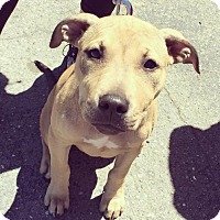 Adopt A Pet :: Rocco - Richmond, CA