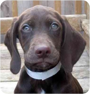 German Shorthaired Pointer/Weimaraner Mix Puppy for adoption in Chicago, Illinois - Belle(ADOPTED!)