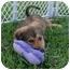 Photo 3 - Shepherd (Unknown Type)/Spaniel (Unknown Type) Mix Puppy for adoption in West Palm Beach, Florida - CHANEL