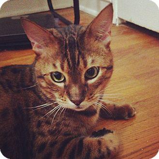 Bengal Cat for adoption in Lantana, Florida - Sebastian