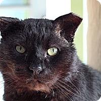 Adopt A Pet :: Gorilla Biscuit - Chicago, IL