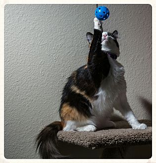 Calico Cat for adoption in Aliso Viejo, California - Gabby
