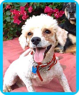 Poodle (Miniature) Dog for adoption in Pasadena, California - SWEET Lorenzo**Video*