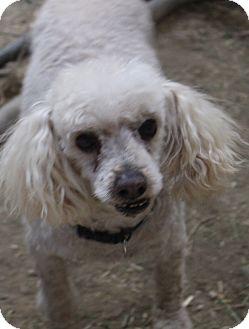 Poodle (Miniature) Mix Dog for adoption in Tucson, Arizona - Jack