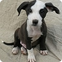 Adopt A Pet :: Elvis - East Hartford, CT