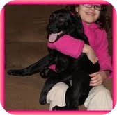 Labrador Retriever/Border Collie Mix Puppy for adoption in Windham, New Hampshire - Spice Girl In New England