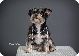 Schnauzer (Miniature)/Yorkie, Yorkshire Terrier Mix Dog for adoption in Birmingham, Alabama - Cinderella the Snorkie