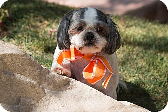 Shih Tzu Dog for adoption in Sherman Oaks, California - Lancelot