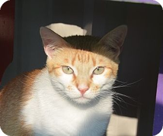 American Shorthair Cat for adoption in New Iberia, Louisiana - Ginger