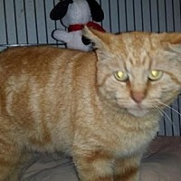 American Shorthair Cat for adoption in Iroquois, Illinois - Pizza King