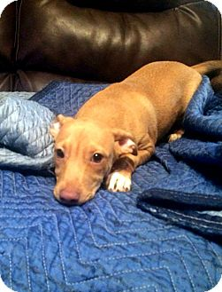 Boston Terrier/Bulldog Mix Puppy for adoption in Savannah, Georgia - Fraiser