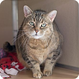Domestic Shorthair Cat for adoption in Wilmington, Delaware - Antoinette