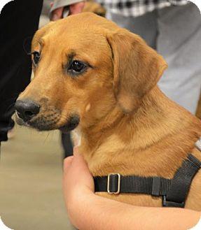 Labrador Retriever Mix Dog for adoption in Rockville, Maryland - Hampton