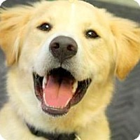 Adopt A Pet :: CHARLIE(OUR SMILING GOLDEN/LAB - Wakefield, RI