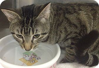 Domestic Shorthair Cat for adoption in Schererville, Indiana - Stripes