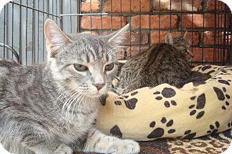 Domestic Shorthair Kitten for adoption in Brooklyn, New York - Silver