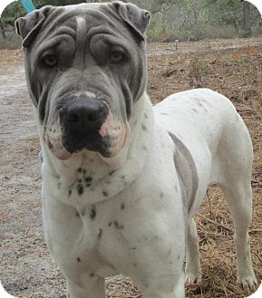 Shar Pei Dog for adoption in Forked River, New Jersey - Iris