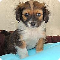 Adopt A Pet :: Francy - La Habra Heights, CA