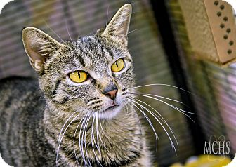Domestic Shorthair Cat for adoption in Martinsville, Indiana - Angelina Meowlie