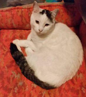 Domestic Shorthair Cat for adoption in Rosamond, California - Tacos