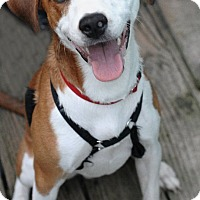 Beagle Mix Dog for adoption in Kansas City, Missouri - Joker