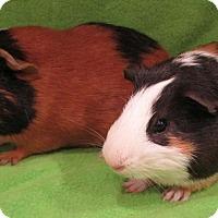 Adopt A Pet :: Pickachu Jr - Steger, IL