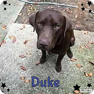 Labrador Retriever Mix Dog for adoption in Rowlett, Texas - Duke
