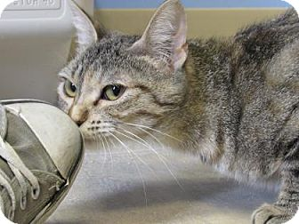 Domestic Shorthair Cat for adoption in Northfield, Minnesota - Tippy