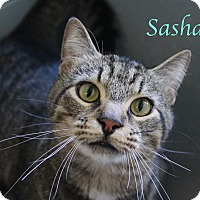 Domestic Shorthair Cat for adoption in Bradenton, Florida - Sasha