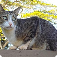 Domestic Shorthair Cat for adoption in Sacramento, California - Tango