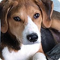 Beagle Mix Dog for adoption in Chicago, Illinois - Shiloh