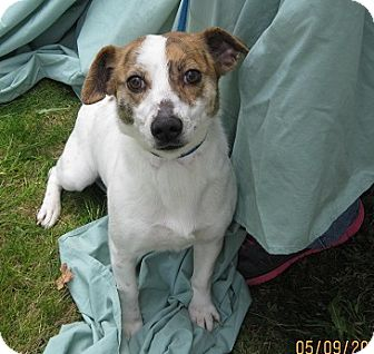 Jack Russell Terrier Mix Puppy for adoption in Glastonbury, Connecticut - Carlissa