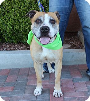American Bulldog/American Pit Bull Terrier Mix Dog for adoption in Las Vegas, Nevada - NENA