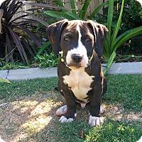 Adopt A Pet :: Oreo - Newport Beach, CA